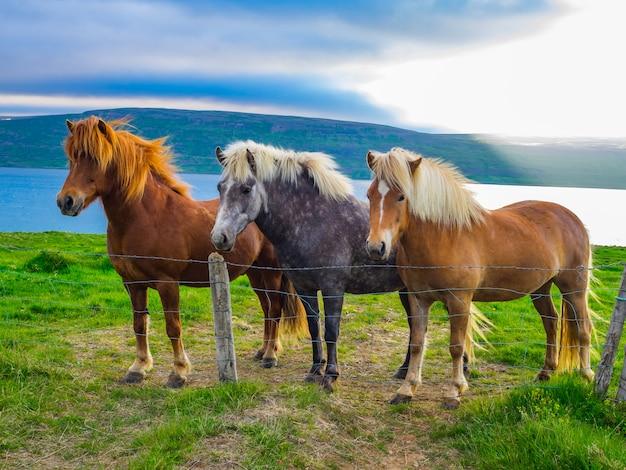 Cavalos islandeses em pé no campo verde, islândia