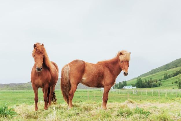 Cavalos islandeses encantadores em um pasto com montanhas ao fundo