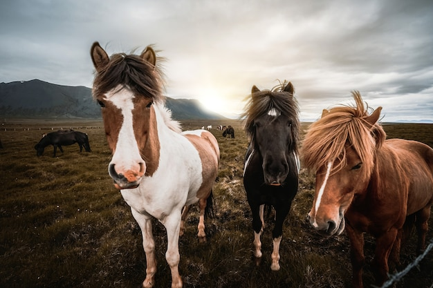 Cavalos islandêses na natureza cênico da islândia.