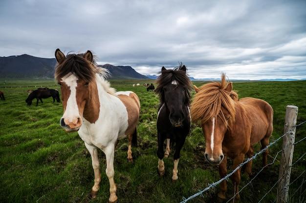 Cavalos islandeses na natureza