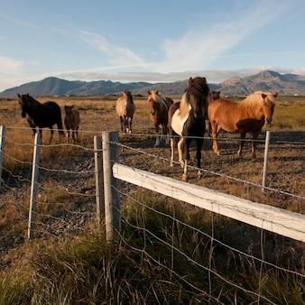 Cavalos islandeses no pasto atrás da cerca de arame