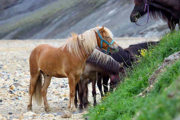 Cavalos islandeses pastando em uma paisagem montanhosa