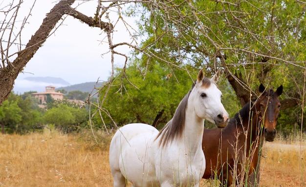 Cavalos marrons e brancos no campo mediterrâneo de maiorca