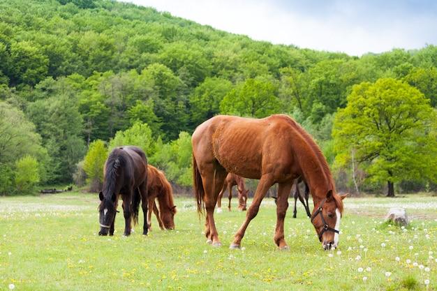 Cavalos marrons e pretos bonitos que comem a grama e que pastam em um prado e em um campo verde.