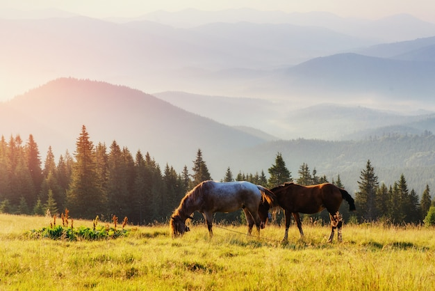 Cavalos, na grama em pastagens de alta altitude montanhas dos cárpatos, em raios de sol