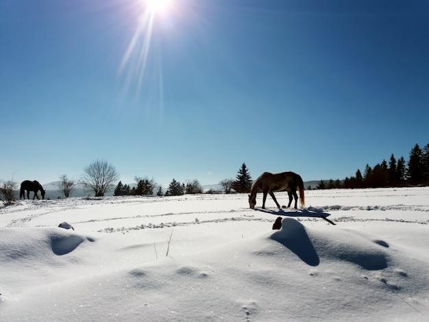 Cavalos na neve com o reflexo da luz solar