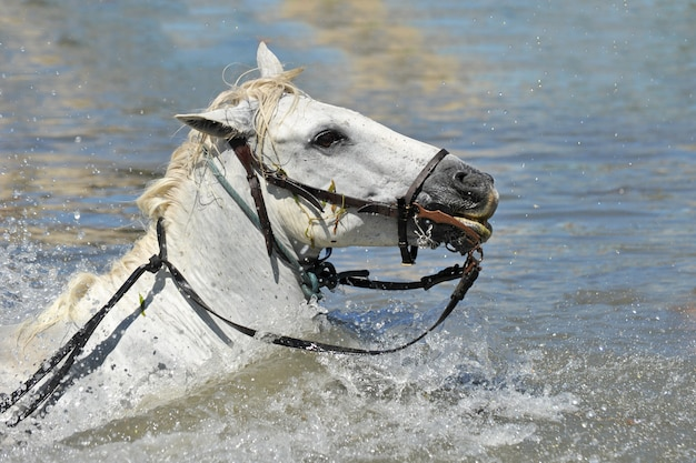 Cavalos nadando em camargue