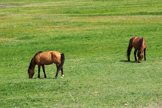 Cavalos nas montanhas do cáucaso, armênia