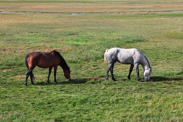 Cavalos no lago argentino em el calafate, patagônia, argentina
