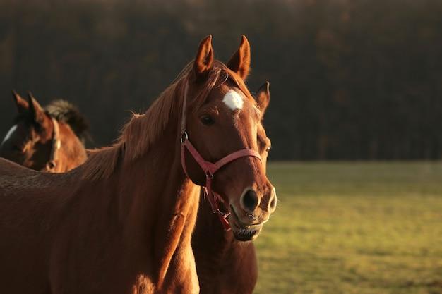 Cavalos no pasto ao amanhecer, agosto, polônia
