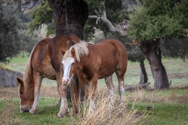 Cavalos num campo na extremadura.