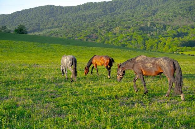 Cavalos pastam nas montanhas no verão