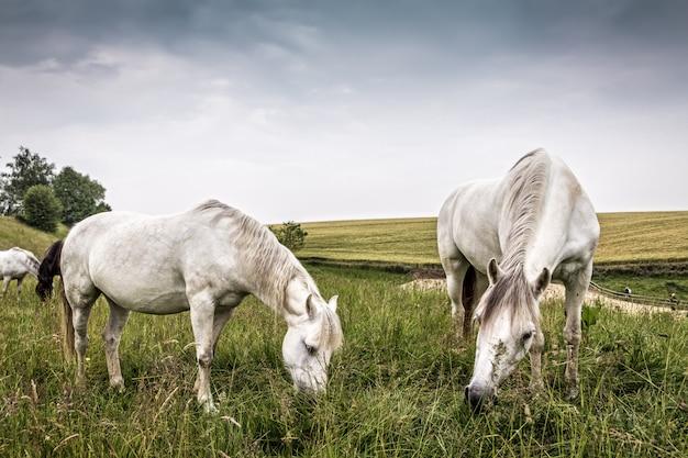 Cavalos pastando em um país do norte da europa