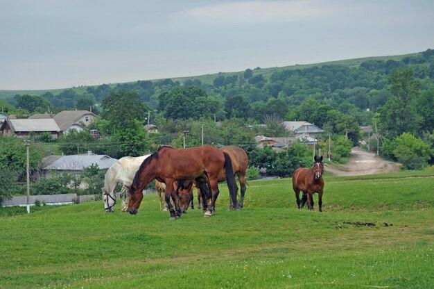 Cavalos pastando em um prado no meio da vila