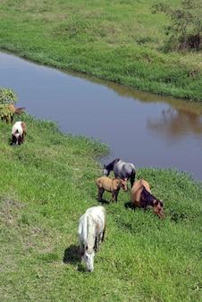 Cavalos pastando nas margens do rio azul