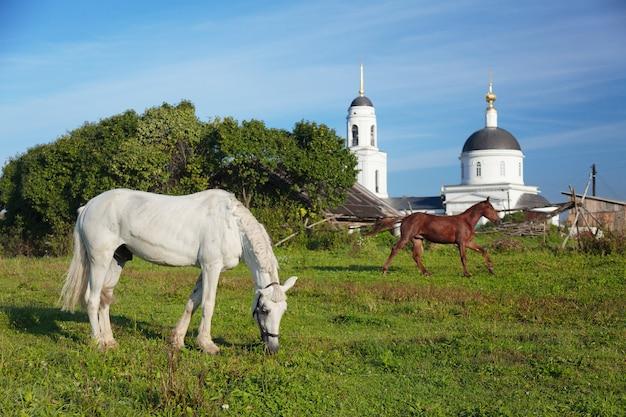 Cavalos pastando perto de uma igreja ortodoxa branca na vila de radonezh, rússia