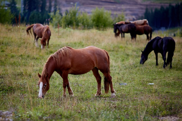 Cavalos pastando são pastagens verdes.