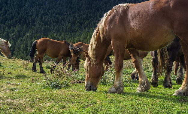 Cavalos, pastar, em, prados, durante, a, pyrenees