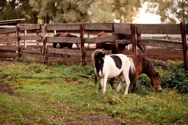 Cavalos pequenos parados perto de uma velha cerca de madeira em uma fazenda de cavalos