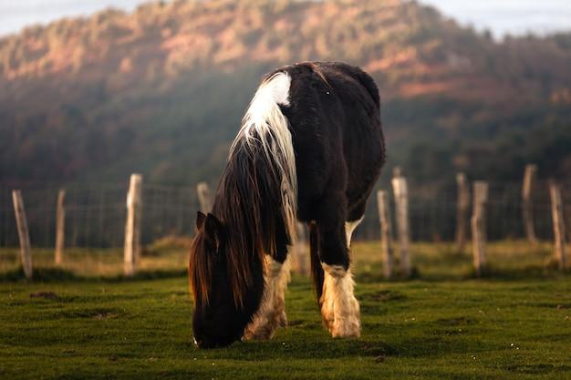 Cavalos selvagens comendo grama no monte jaizkibel, país basco.