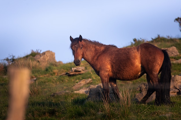 Cavalos selvagens comendo grama