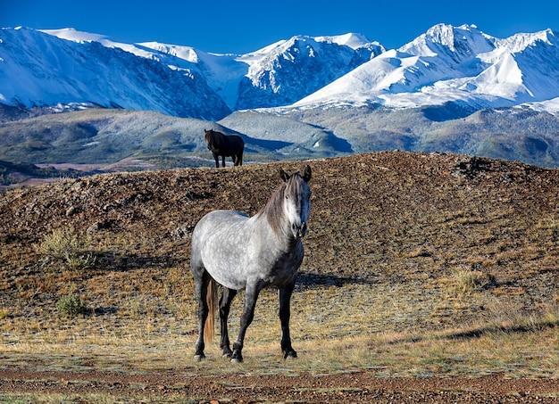 Cavalos selvagens ficam na frente da cordilheira altai nas estepes de kurai, rússia