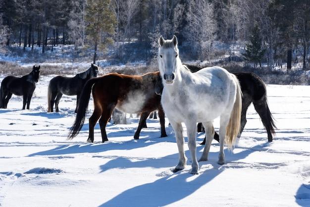 Cavalos selvagens marrons e brancos andando no campo no inverno na rússia