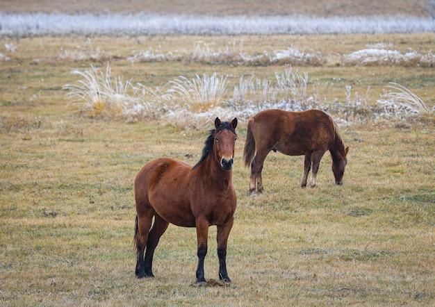 Cavalos selvagens marrons jovens em um campo comendo grama