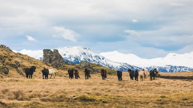 Cavalos selvagens pastando na islândia