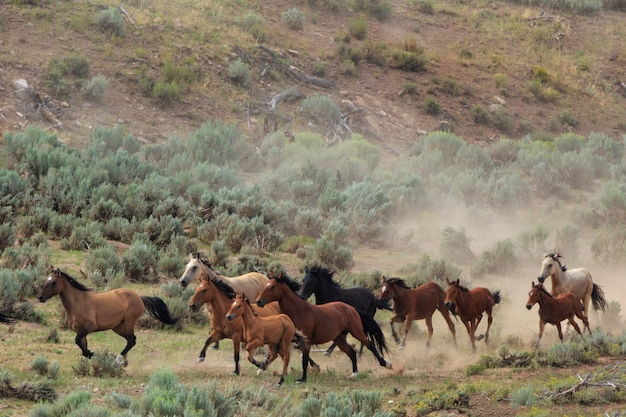 Cavalos selvagens utah roundup