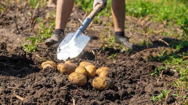 Cavando batatas. colha batatas na fazenda. produto ecológico e natural.