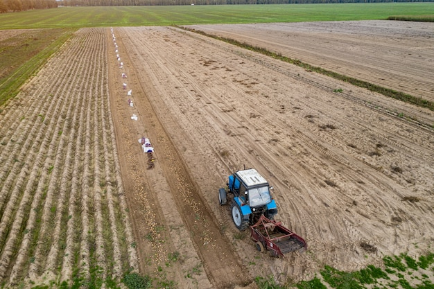 Cavando batatas com uma vista superior do trator.