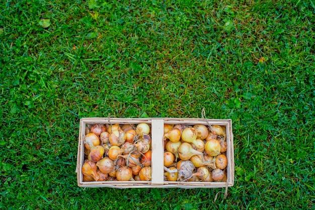 Cebola em uma cesta de vime retangular que fica na grama verde. é hora de colher vegetais.