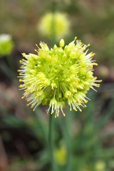 Cebola flor verde