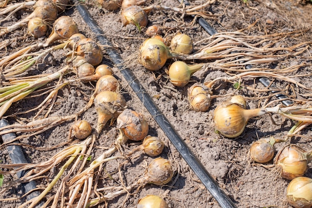 Cebola madura em fileiras no campo agrícola