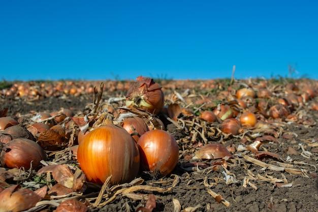 Cebola madura no campo em linhas prontas para a colheita.