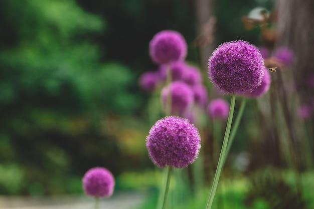 Cebola roxa florescendo em um prado