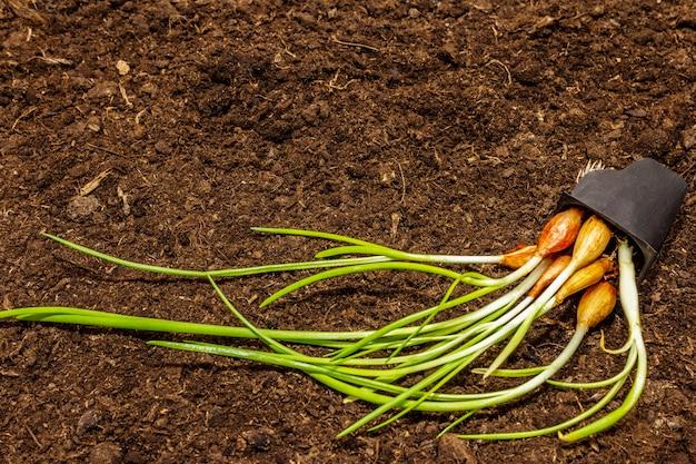Cebola verde das plântulas na bandeja plástica no fundo do solo. pronto para plantar em campo aberto. conceito de cuidados de plantas