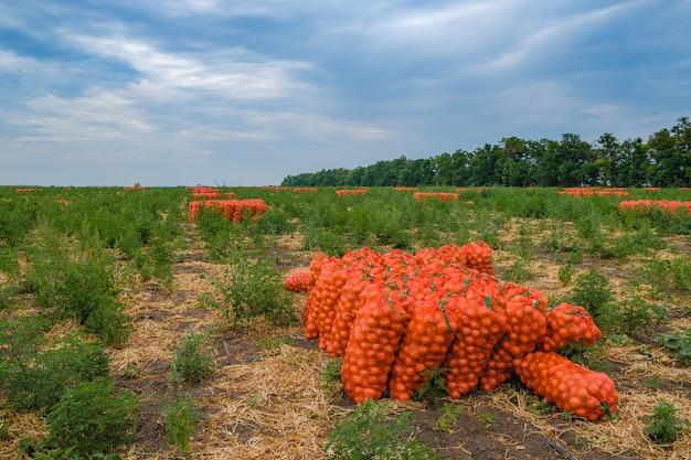 Cebolas colhidas em sacos de malha laranja no campo vegetais frescos ecológicos são colhidos para venda na agroindústria
