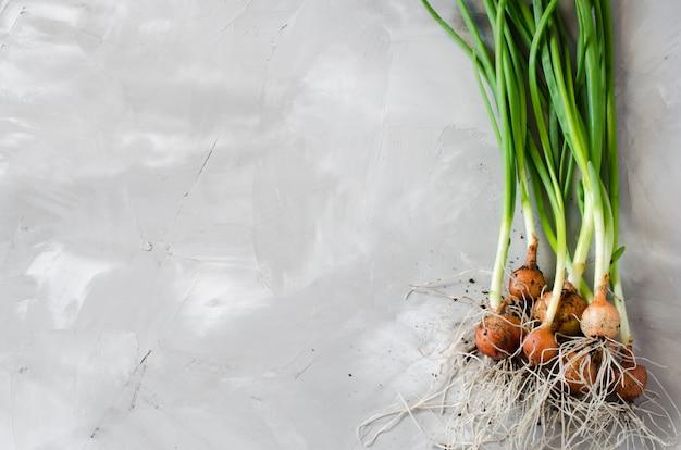 Cebolinhas orgânicas recém colhidas com raízes