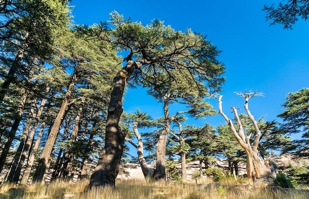 Cedros da floresta do líbano no vale de bsharri kadisha, no líbano