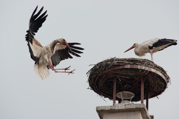 Cegonha-branca a voar
