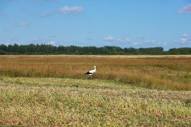 Cegonha-branca de pássaro em um fundo de prados verdes.