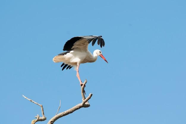 Cegonha-branca empoleirar-se em uma árvore