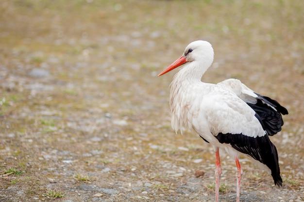 Cegonha-branca no habitat natural andando e procurando comida, área de inundação da floresta de álamo no lado do rio, vista traseira da cegonha, penas brancas imundas