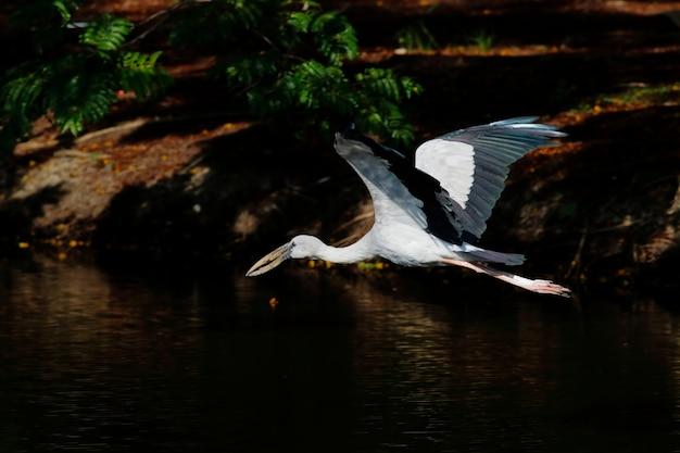 Cegonha-de-bico-aberto asiático-bico anastomus oscitans belas aves voando nas lagoas