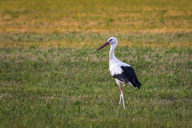 Cegonha em pé em campo verde