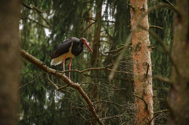 Cegonha-preta no escuro da floresta europeia
