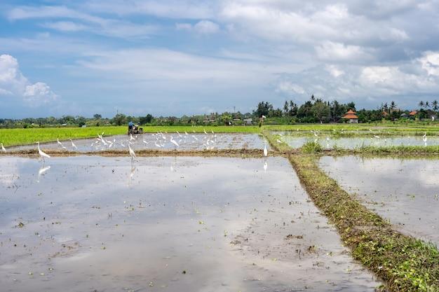 Cegonhas em um campo de arroz coberto de água