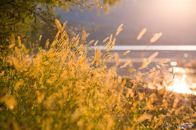 Cena bonita com acenando a grama selvagem em um por do sol.
